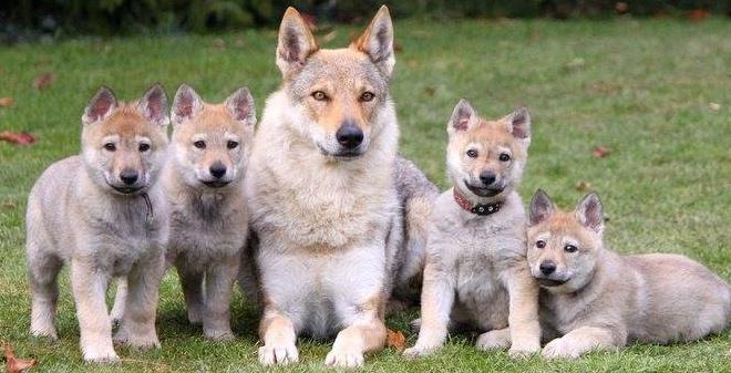 Wolfdog | News